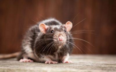 Les plagues de rates i ratolins