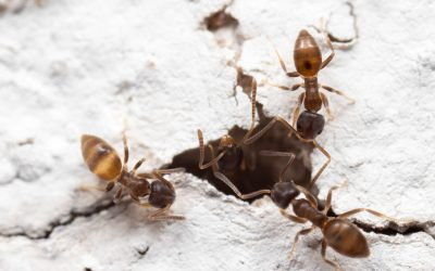 Com localitzar el niu de formigues de casa teva